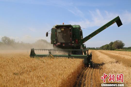 新疆兵团北部4.7万亩小麦开镰收割 小麦丰产农户增收