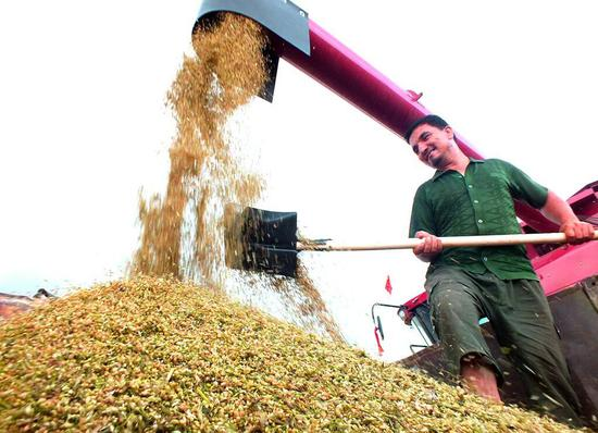焉耆县春小麦相继进入成熟收获期