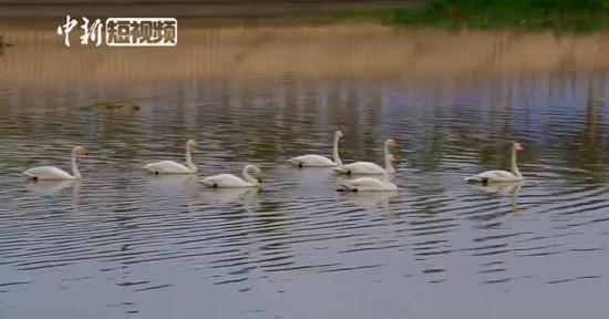 """十多只白天鹅夏日结伴""""落户""""新疆托克逊"""