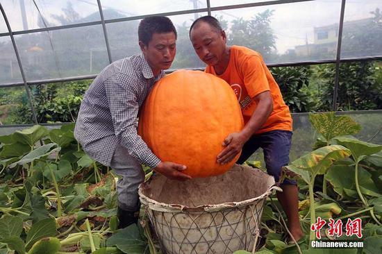 重庆农民收获87公斤重巨型南瓜 两名壮汉才能抬走