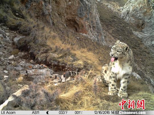多种遗传分析方法证明全球雪豹可分为三个亚种