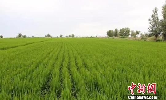 东北水稻品种在新疆兵团第十师试种成功 丰收在望