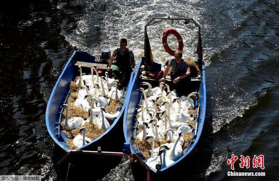 天鹅热到受不了 坐船去过冬地躲避酷暑