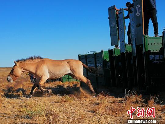 新疆15匹野马成功回归自然