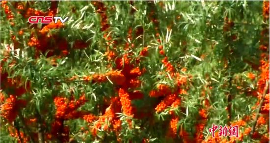 新疆布尔津戈壁滩变沙棘林 沙棘丰收采摘忙