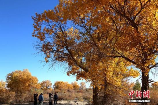 新疆南部旅游持续火爆 金秋胡杨再引大量游客