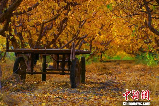 新疆托克逊县万亩杏园上演秋天的童话