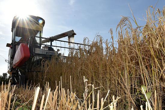 白米饭黑米粥 油城克拉玛依地产新稻走上餐桌