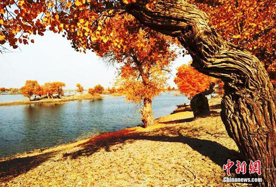 深秋新疆塔里木河源头金色胡杨景色唯美