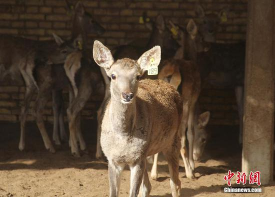 新疆兵团塔里木河马鹿驯养繁育基地小马鹿呆萌可爱