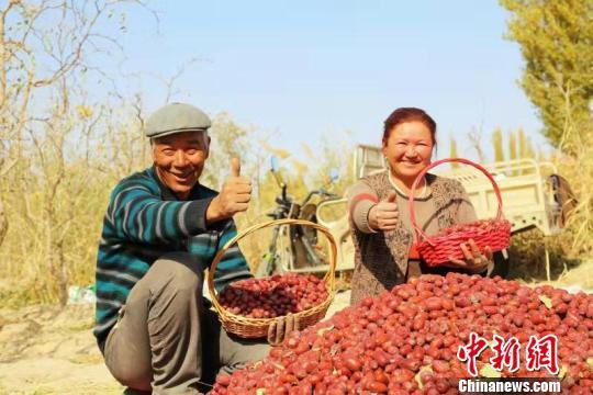 且末县琼库勒乡墩买里村村民在自家枣园里采收红枣。赵戈 摄