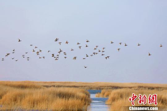 新疆博斯腾湖冬日生态美 水鸟翩翩来