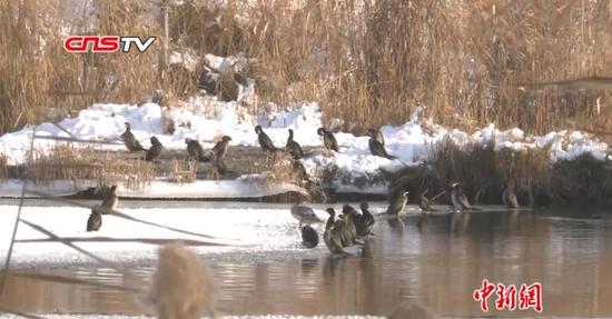 侏鸬鹚现身新疆玛纳斯湿地 为中国首次拍摄记录