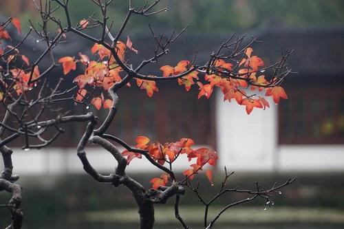 """图为""""诗情画意""""——浙派苏派盆景精品展展出的盆景。唐吉娜 摄"""