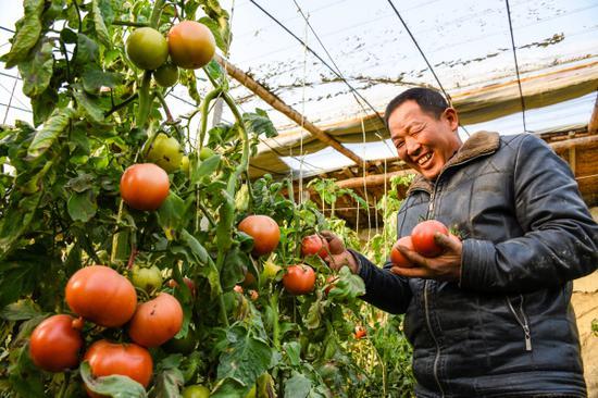 图说:12月6日,在新疆巴音郭楞蒙古自治州尉犁县兴平镇巴西阿瓦提村大自然果蔬合作社温室大棚内,菜农正在采收新鲜的西红柿。
