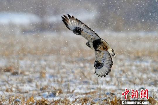 新疆克拉玛依生态环境改善 吸引猛禽逗留觅食