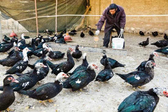 12月10日,在新疆巴州尉犁县团结镇西海子村潘二保家中的小院里,父亲潘二拴正在喂养鸳鸯鸭。