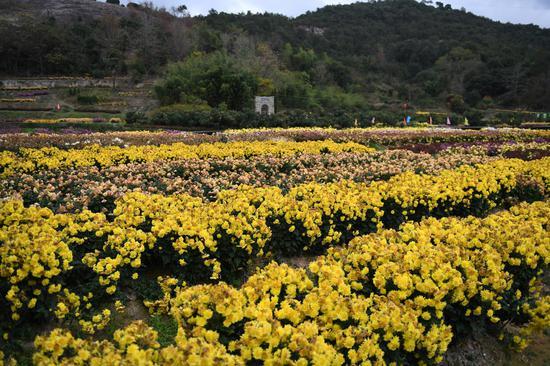 图为:海头村的菊花种植园。  王刚 摄