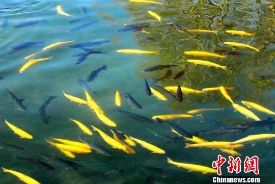 多个珍稀名贵冷水鱼种在新疆那拉泉景区成功繁育