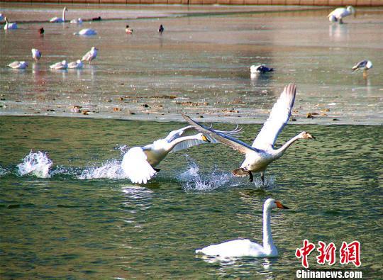 新疆库尔勒天鹅连续14年越冬 首次突破300只