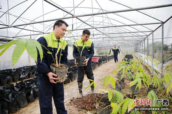 广西钦州:种植竹子助农脱贫