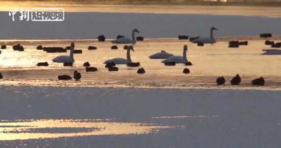 美翻!26只白天鹅落户新疆阿克苏国家湿地公园