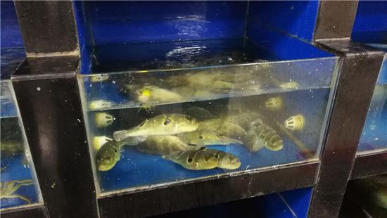 图为餐馆内的河豚鱼 海曙区市场监管局供图