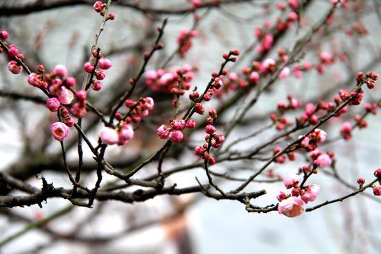 图为:含苞待放的花骨朵挂满枝头。柱子(通讯员)摄