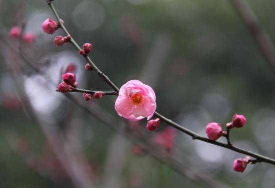图为:初放的红梅。柱子(通讯员)摄
