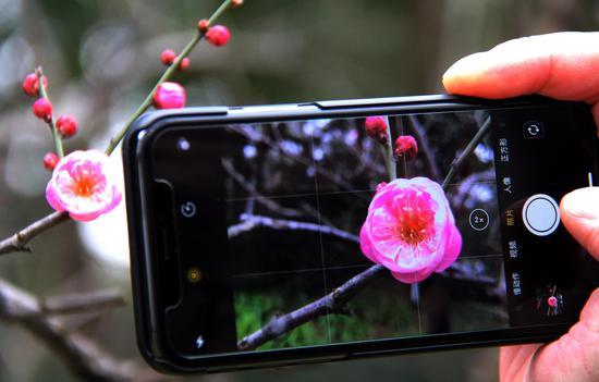 图为:游人用手机拍摄红梅。柱子(通讯员)摄
