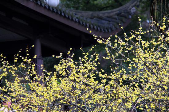 图为:盛开的梅花。柱子(通讯员)摄