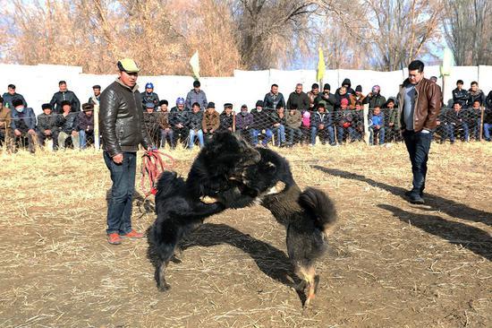 农闲时节 新疆且末县开展刁羊、斗狗比赛