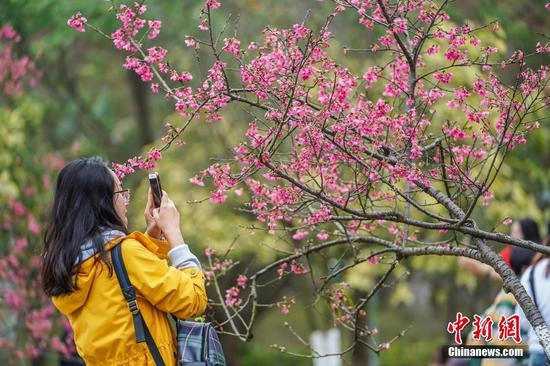 广西南宁樱花盛开吸引市民游客观赏
