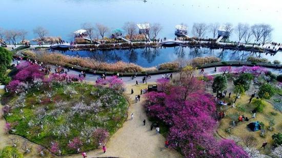 图为:春节假期,浙江临海灵湖公园红梅绽放飘香,吸引大批游客。王华斌摄