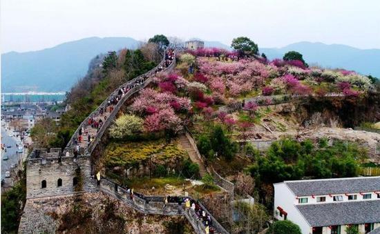 图为:春节假期,浙江临海古城江南长城与梅园梅花交相辉映。王华斌摄