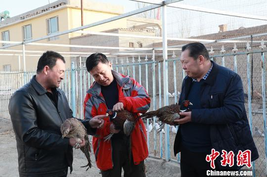 """新疆和硕县""""珍禽""""驯养化农户增收""""尝""""甜头"""