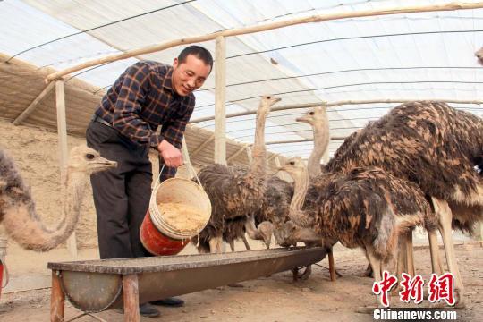 新疆和硕县鸵鸟养殖撑起致富梦想
