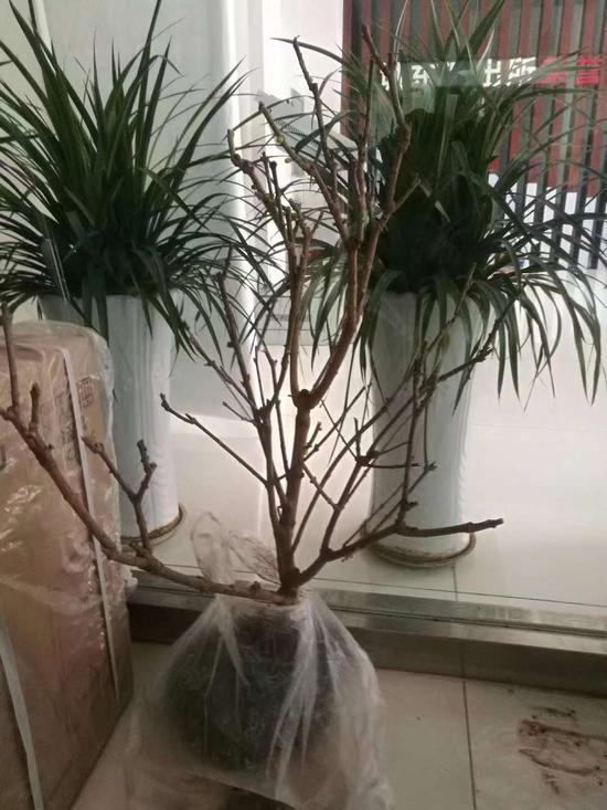 圖為:被偷的蠟梅盆栽  天臺公安供圖
