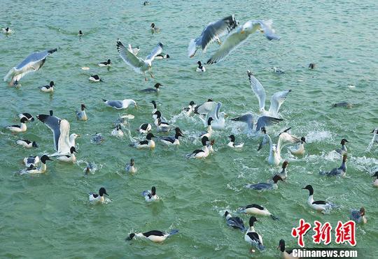 新疆库尔勒去冬今春观天鹅人次超30万创数量新高