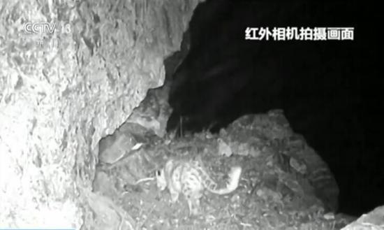 新疆呼图壁河沿线监测发现雪豹
