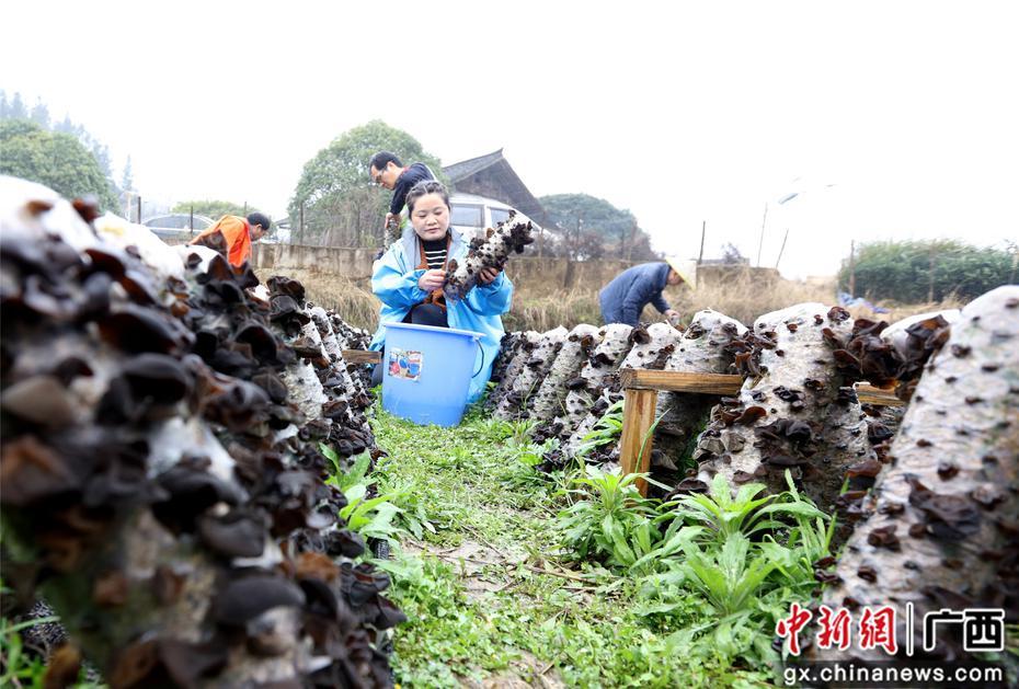 广西三江种植食用菌助力脱贫