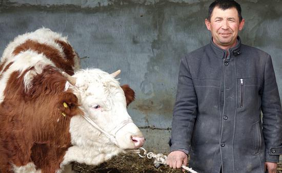 """新疆一乡镇讲述65头西姆塔尔母牛""""造血""""的故事"""