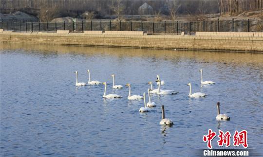 """新疆库尔勒180余只天鹅""""移居""""至杜鹃河下游"""