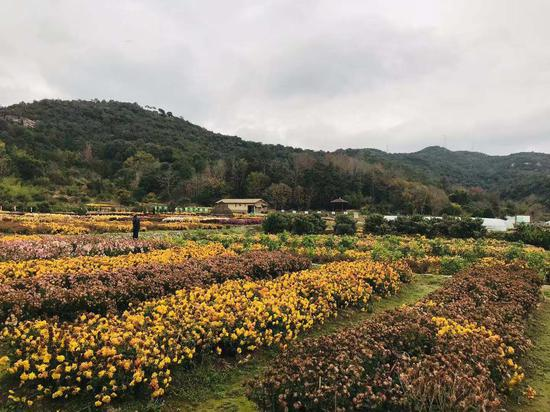 宁波宁海海头村的菊花种植园. 张斌 摄