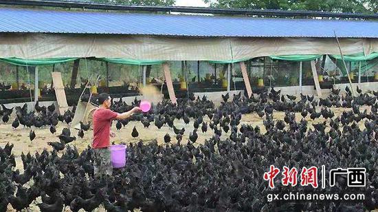 图为乌鸡养殖业成为东兰县贫困户增收的主要产业。