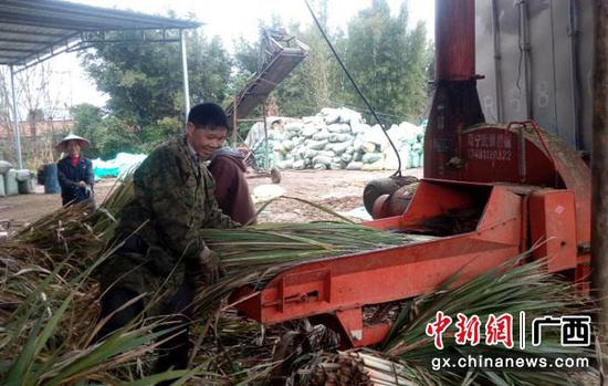 图为工人把嫩绿的甘蔗尾梢往切割机输道口里送。