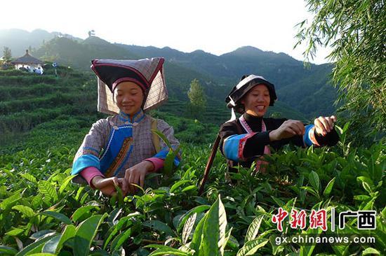 图为茶农在茶园采茶。