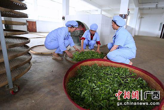 图为员工在摊青茶叶。