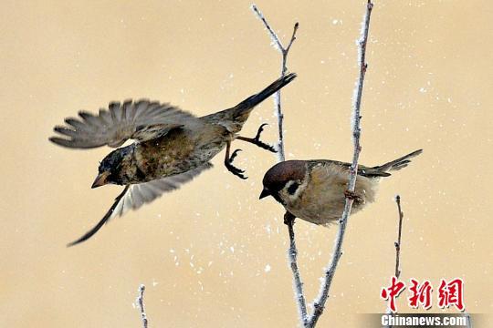 新疆克拉玛依初春雾凇挂满枝 麻雀枝头嬉戏