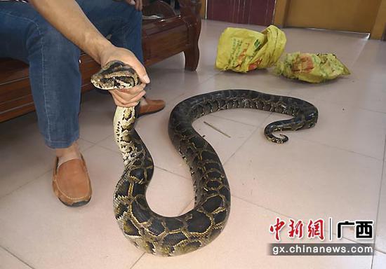 图为涉案蟒蛇 。法院供图